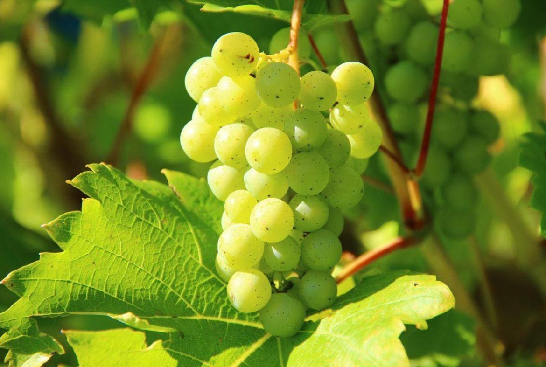 uva bianca calorie